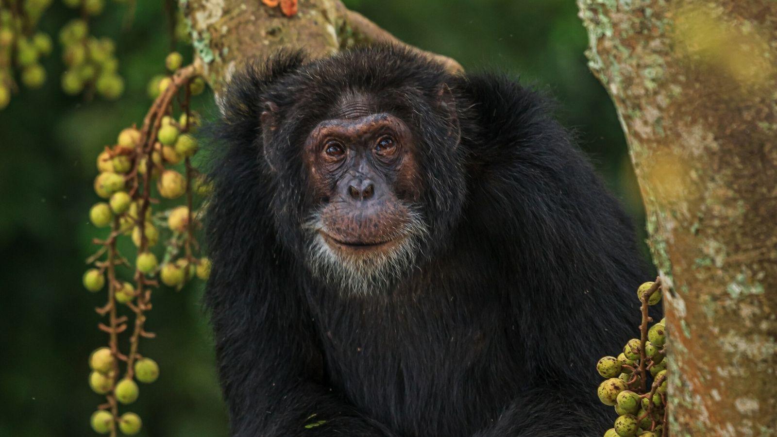 Dieses Foto aus dem Oktober 2011 zeigt den Schimpansen Yogi, eines von geschätzt 60 Wildtieren, die ...