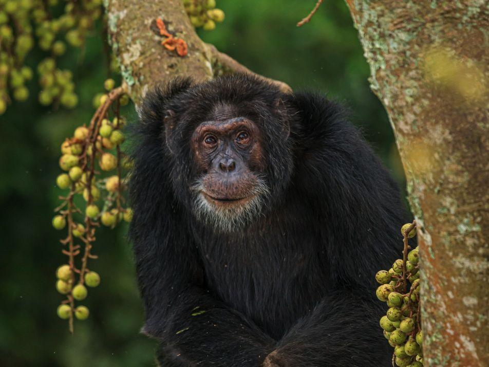 Besser altern: Was Menschen von Schimpansen lernen können
