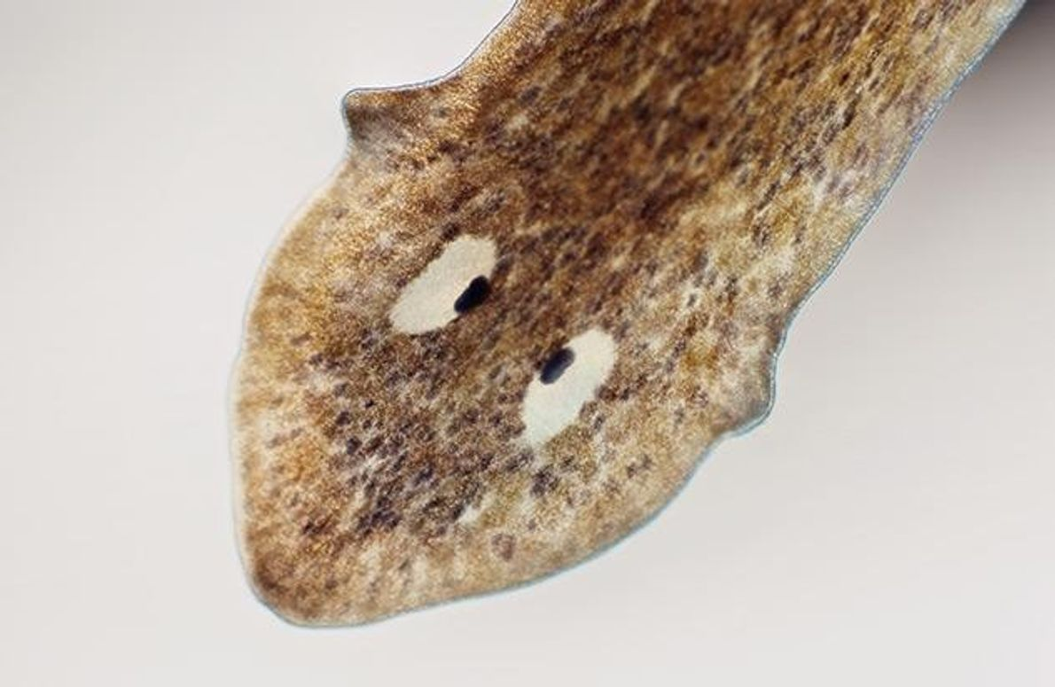 """Die beiden schwarzen Punkte auf dem Kopf des Plattwurms Dugesia dorotocephala gehören zu den einfachsten """"Augen"""" …"""