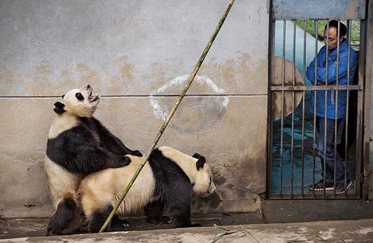 In der Pandazuchtstation Bifengxia bleiben die Bären nie unbeobachtet. Die Pfleger versuchen, die Tiere mithilfe von …