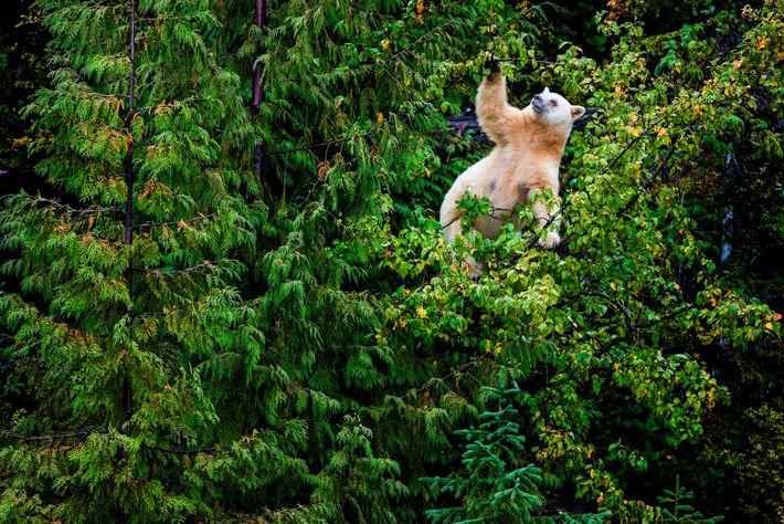 Ein weiblicher Kermodebär erklimmt auf der Suche nach Nahrung einen Apfelbaum im Great Bear Rainforest in ...