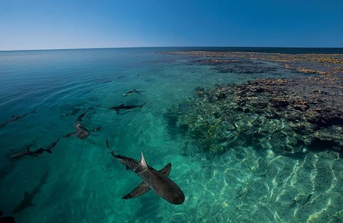 Kinderstube der Galapagoshaie