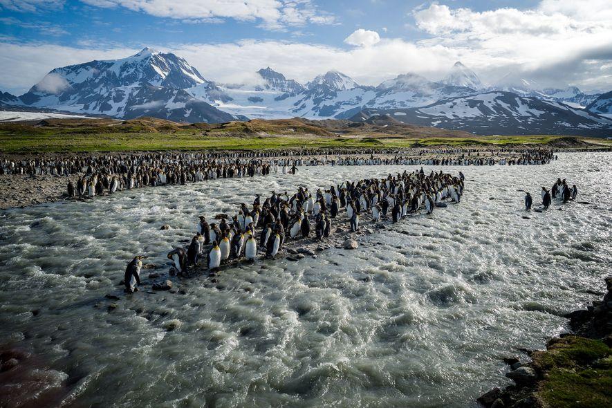SÜDGEORGIEN: Auf dieser 160 Kilometer langen und mit Gletschern durchsetzten Insel drängen sich eine halbe Million ...