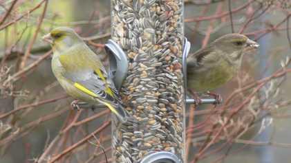 Stunde der Wintervögel: Viele Spatzen, wenig Meisen und ein grünes Sorgenkind