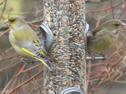 Gartenvögel im Winter: Winzige Invasoren bedrohen Grünfinken
