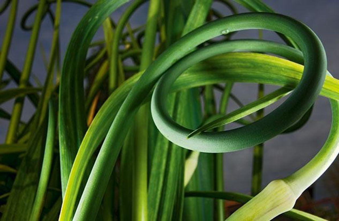 Knoblauch (Allium sativum) ist ein soziales Gewächs: Wie gut er gedeiht, hängt von seinen Nachbarn ab. …
