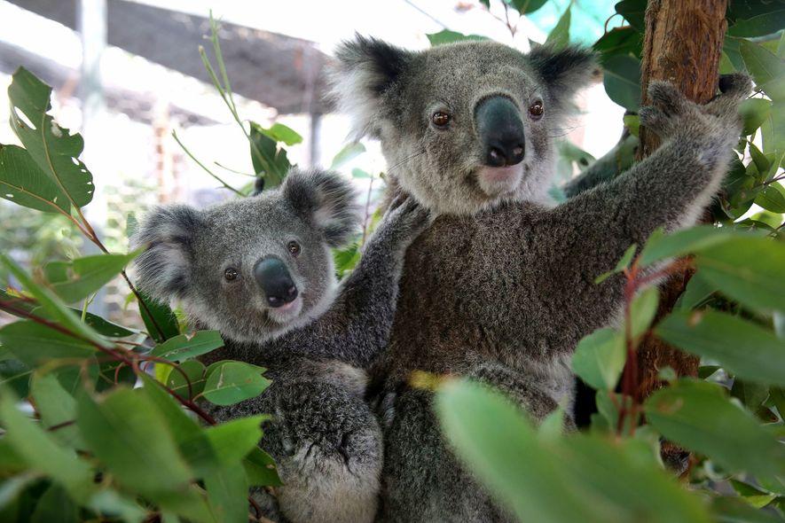 Koalamutter und ihr Junges