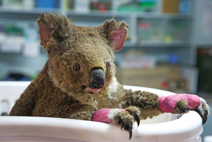 Koalaweibchen