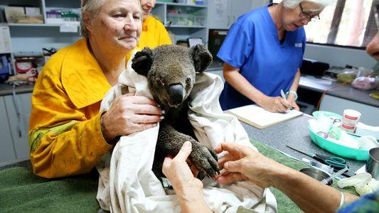 """Koalas sind weiterhin """"nur"""" gefährdet – nicht funktional ausgestorben"""
