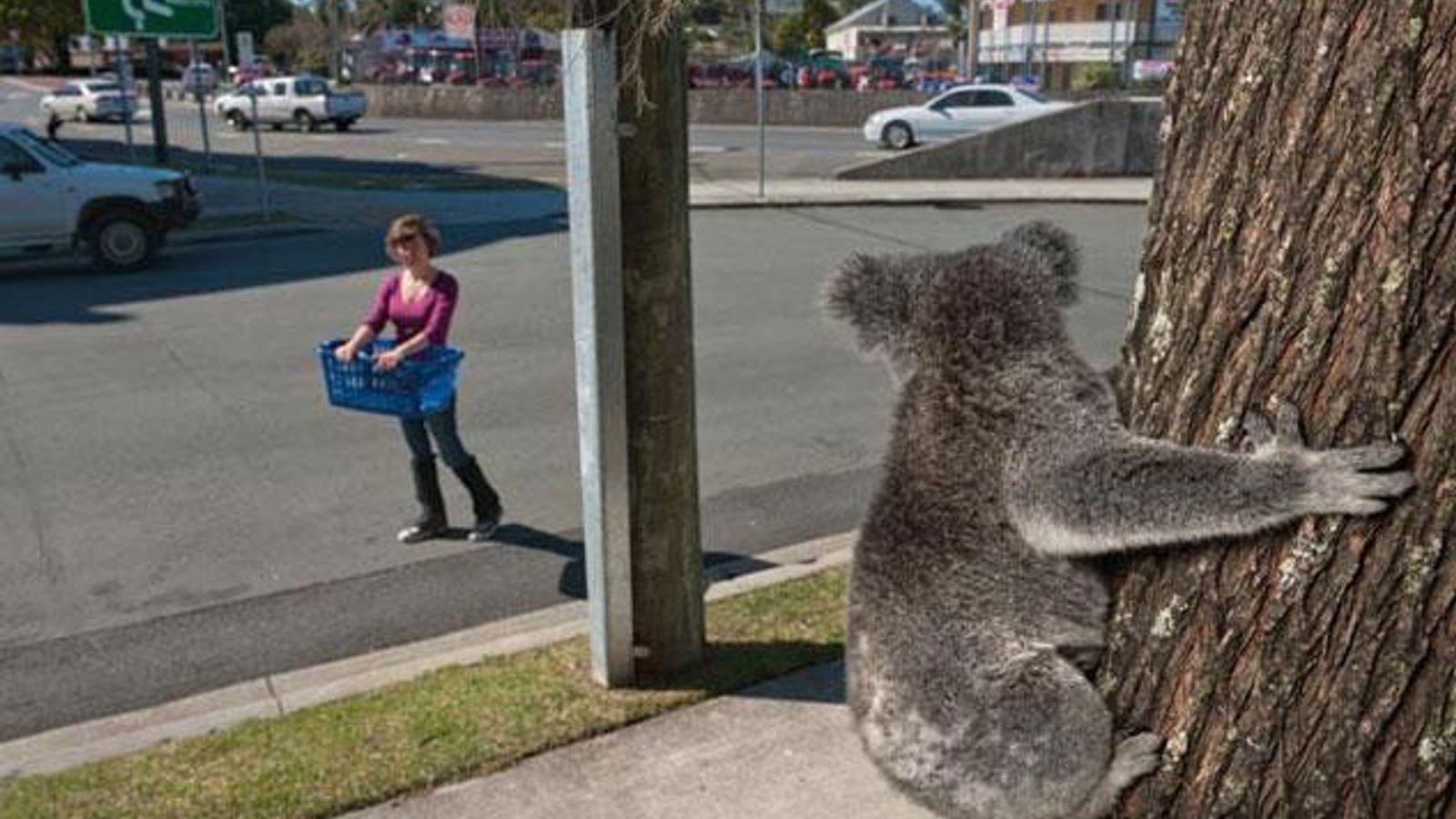 Koala in der Stadt
