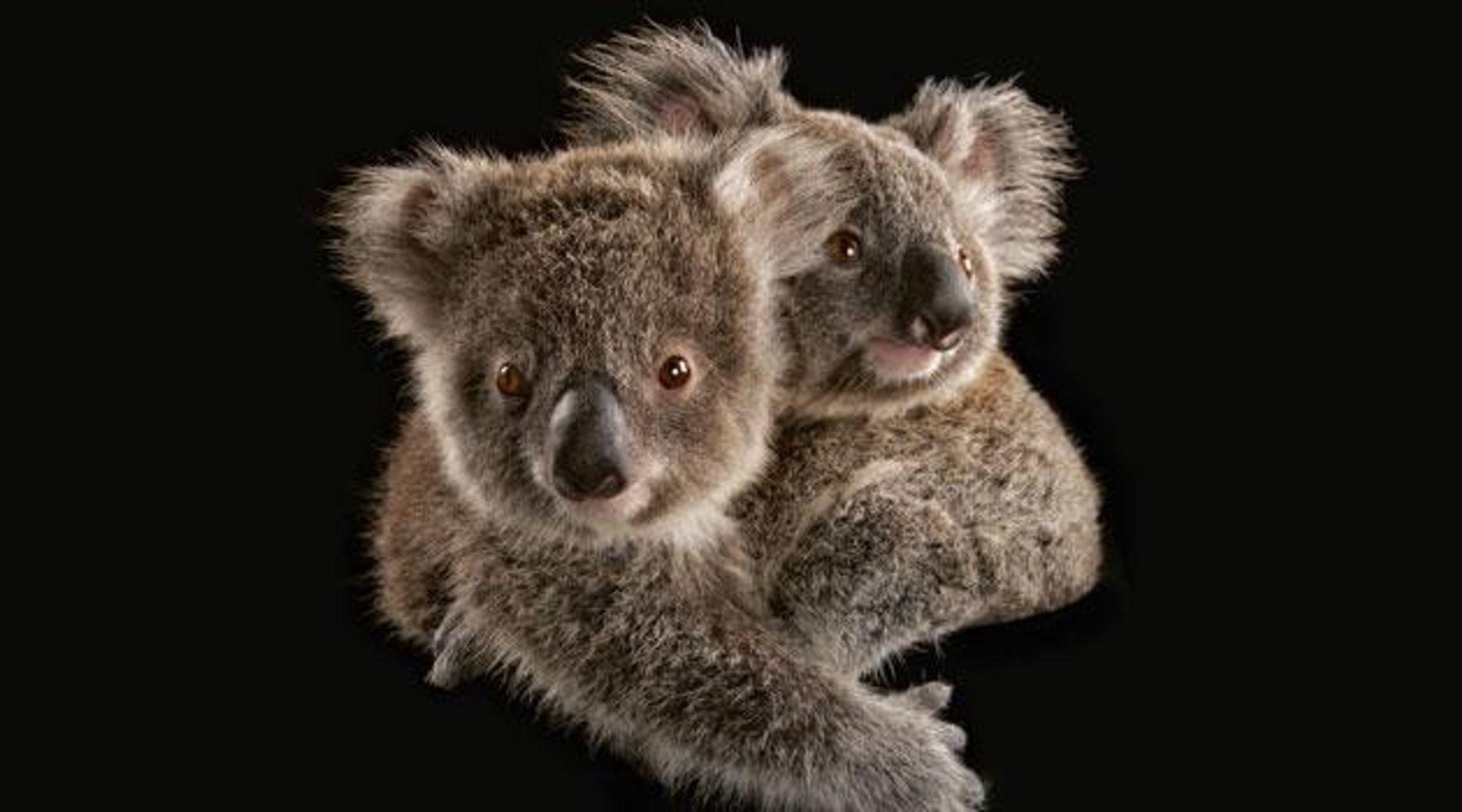 Bedrohte Koalas: Kleiner Bär – was nun?
