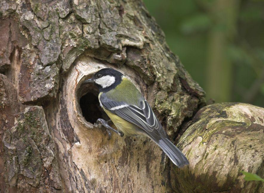 Die Kohlmeise ist ein Höhlenbrüter und zählt zu unseren häufigsten Gartenvögeln.