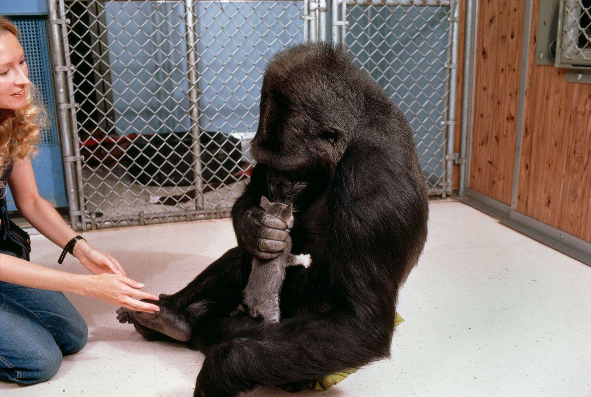 """Auf diesem Bild sieht man, wie Koko ihr Kätzchen, das sie """"All Ball"""" getauft hatte, liebevoll ..."""