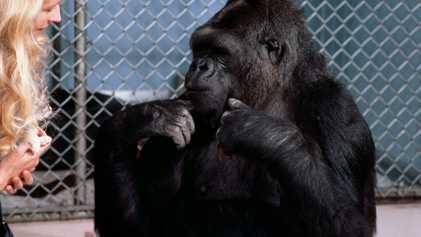 """""""Koko konnte uns zeigen, zu was alle Menschenaffen fähig sind."""""""