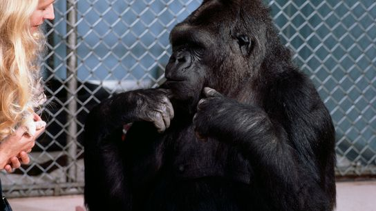 Patterson und Koko unterhalten sich in American Sign Language. Koko verwendete regelmäßig mehr als 500 Zeichen ...
