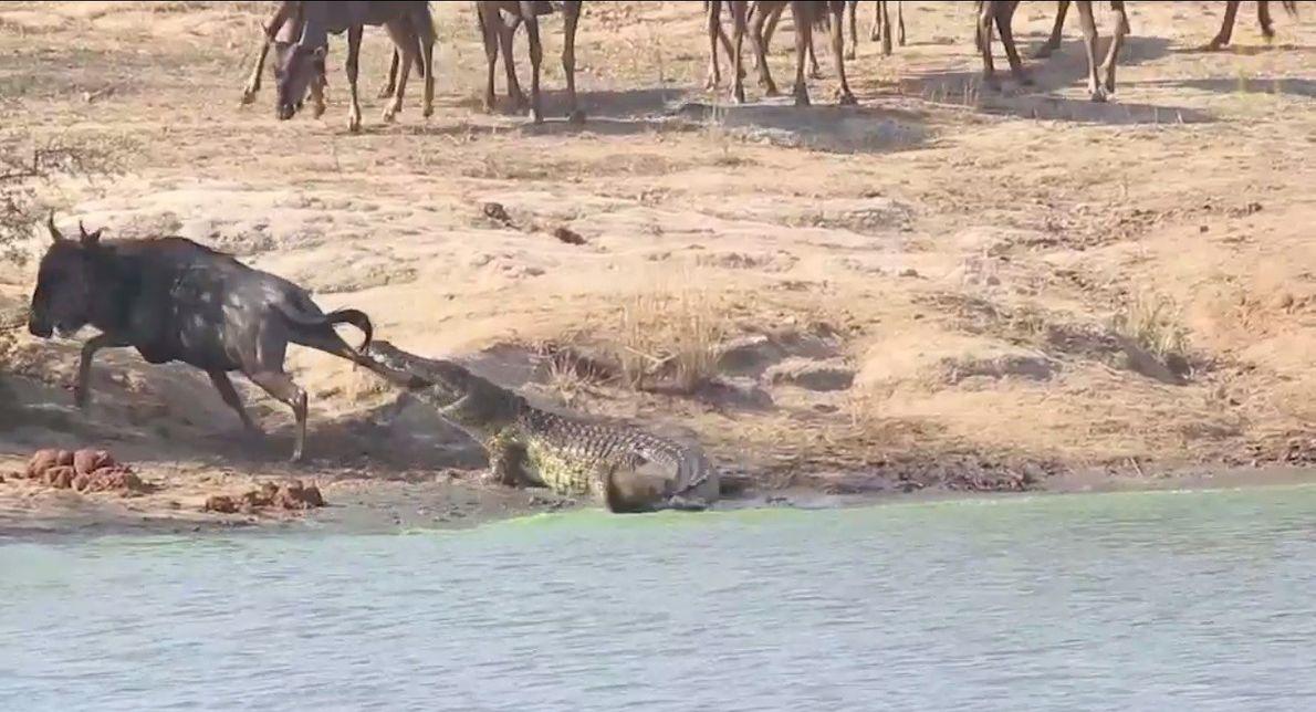 Flusspferde retten Gnu vor Krokodil