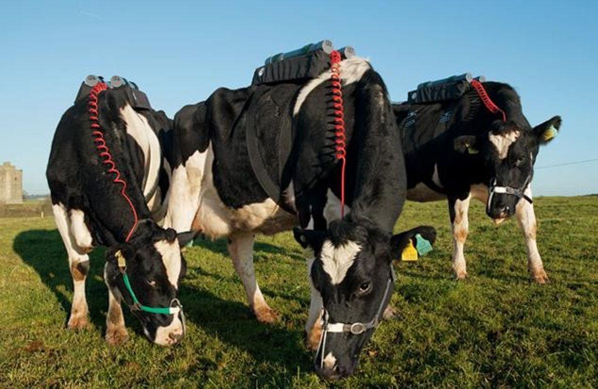 Kühe als Biogasanlagen