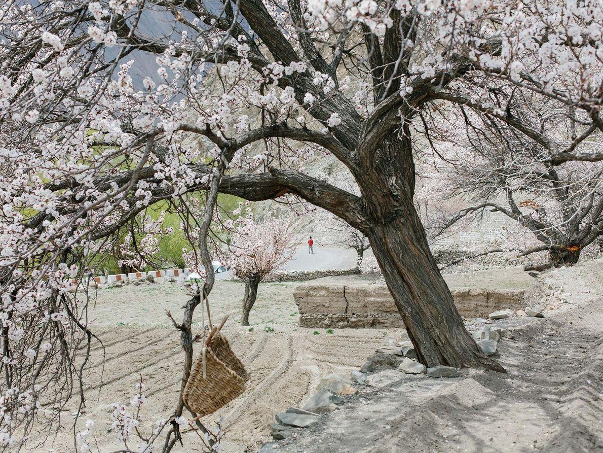 Entgegen aller Erwartungen blüht in der Bergwüstenlandschaft der Region ein Aprikosenbaum.