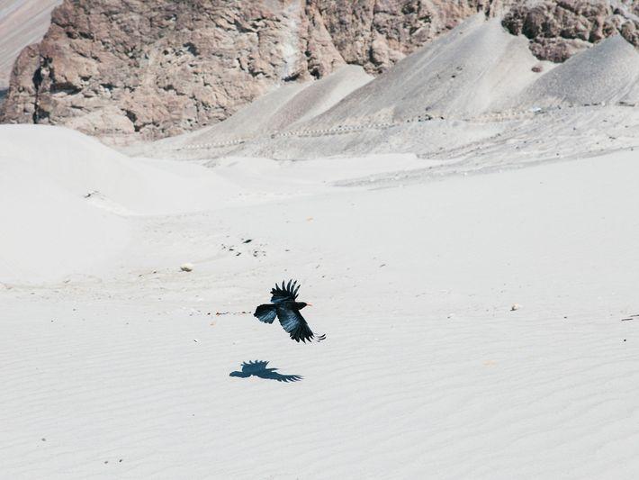 Eine Alpenkrähe fliegt über die Dünen der Bergwüste in der Nähe von Hunder in Ladakh.