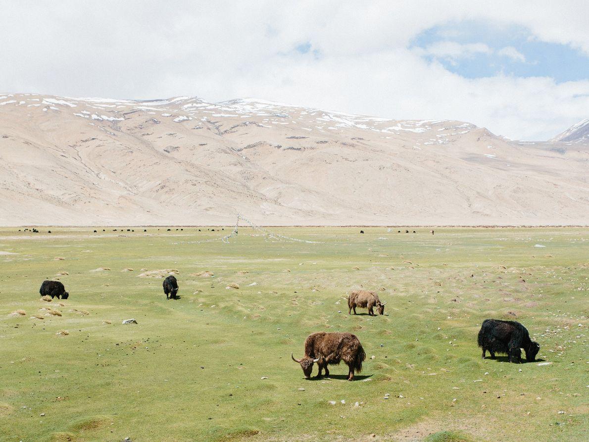Eine Herde Yaks grast am Fuße der Berge.