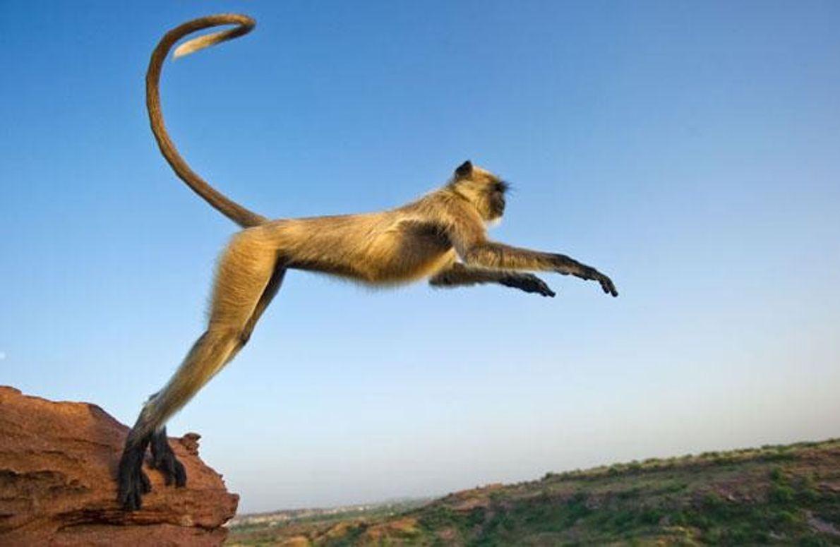 Indiens heilige Affen können ganz schön nerven.