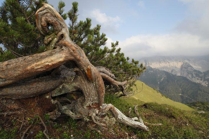 Latschenkiefer/Bergkiefer (Pinus mugo)