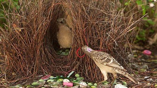 Laubenvögel: Nur für dich, mein Schatz