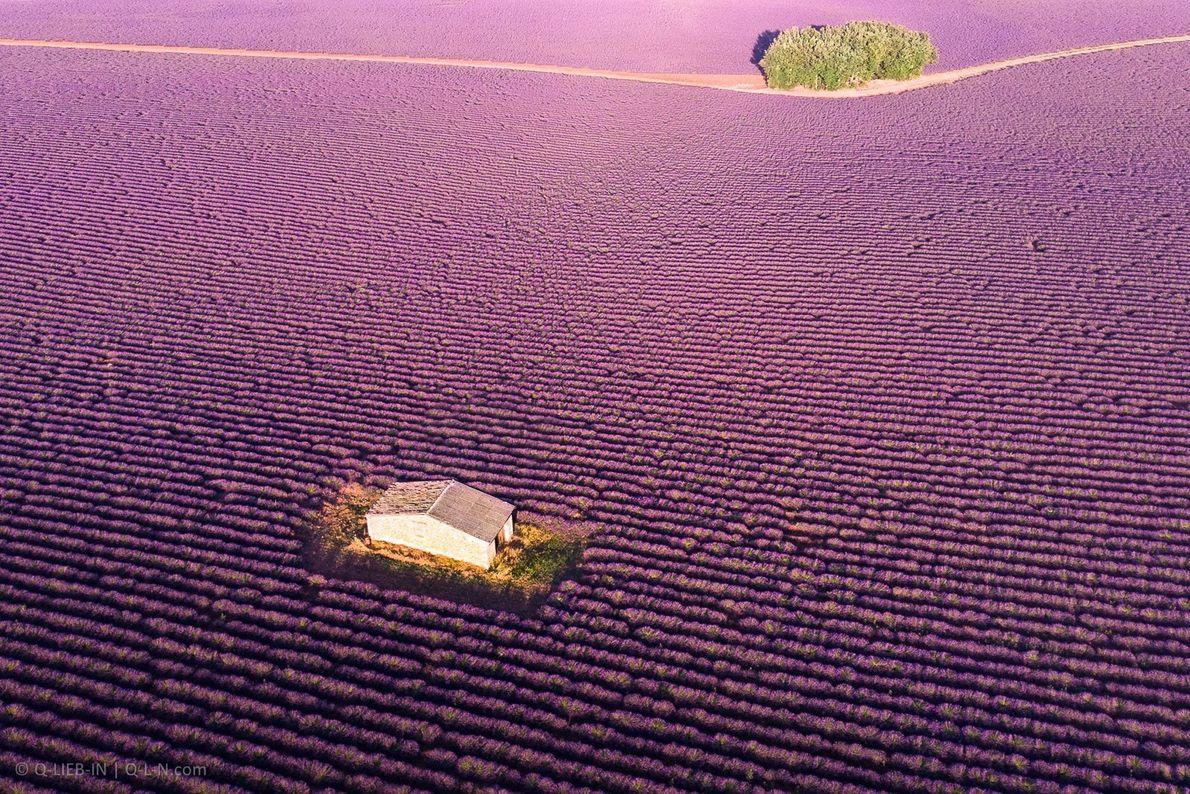 In der französischen Provence verschwimmt die Landschaft jeden Sommer in einem Meer aus Lavendel. In der ...