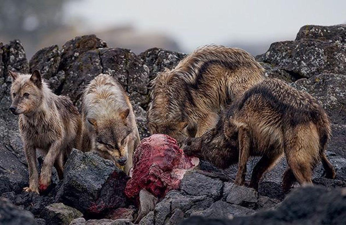 Leichte Beute für die Küstenwölfe
