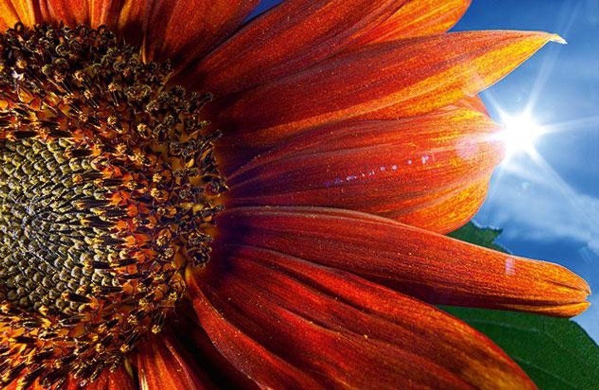 Die Sonnenblume (Helianthus annuus) orientiert sich am Licht, ihre Blätter wenden sich tagsüber von Ost nach …