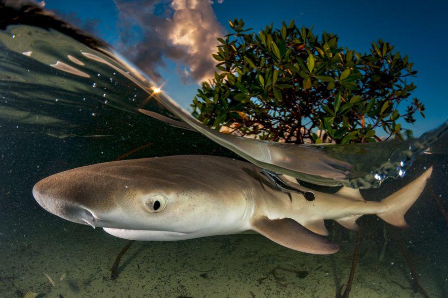 Zitronenhaie verbringen ihre ersten Lebensjahre in der Nähe von Mangrovenbäumen, die ihnen zum Schutz vor größeren ...
