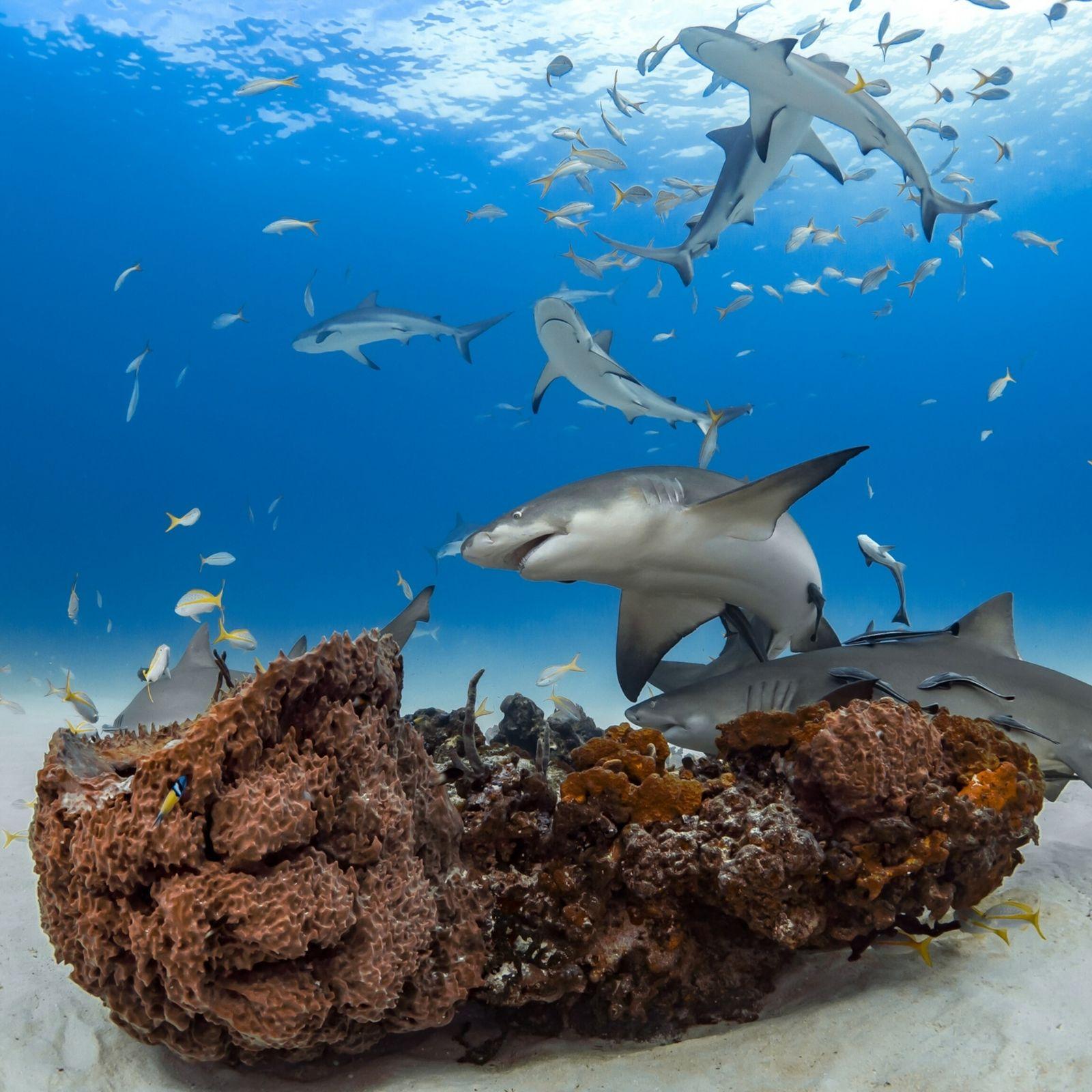 Zitronenhaie, hier zu sehen in einem Schwarm vor der Insel Grand Bahama, legen ganz unterschiedliche Persönlichkeiten ...