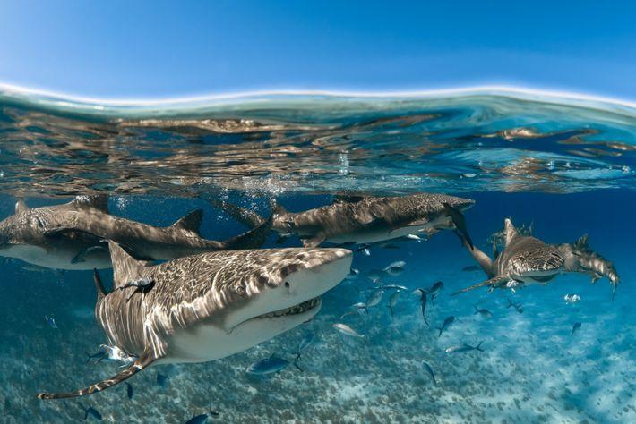 Es ist nicht geklärt, warum Zitronenhaie, hier zu sehen vor der Küste von Grand Bahama, die ...