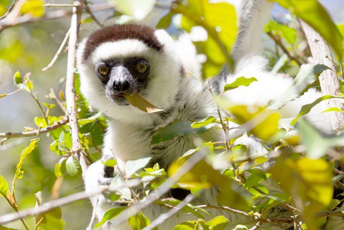 Die Larvensifakas, eine Lemurenart, beugen Fehlgeburten durch den Verzehr tanninhaltiger Pflanzen vor.