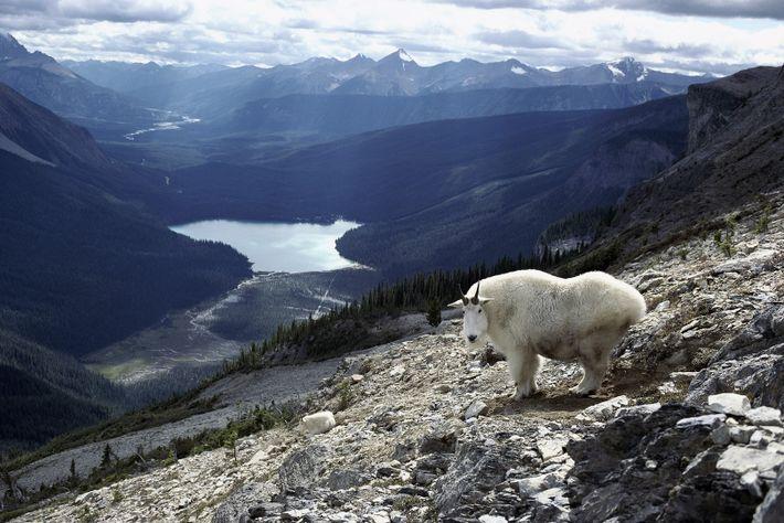 Der Yoho-Nationalpark in British Columbia ist die Heimat von Bären, Pumas, Elchen, Schneeziegen und Dickhornschafen. Er ...
