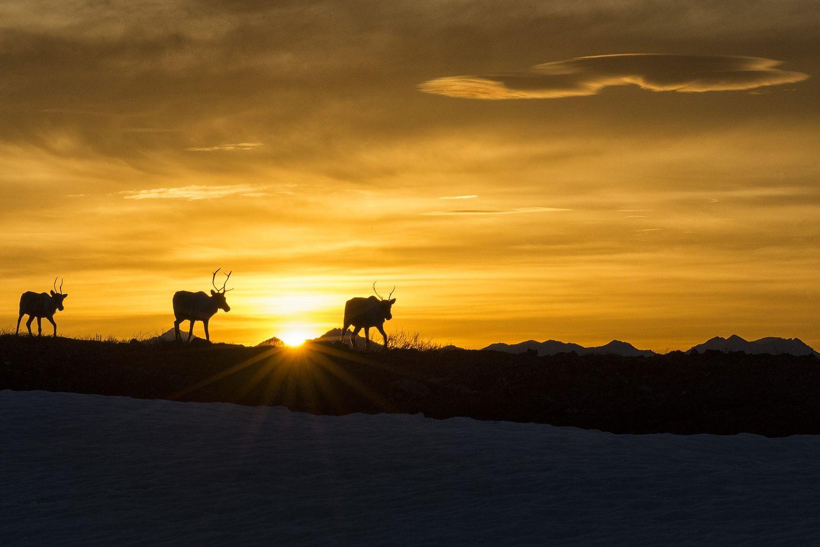 Im Ivvavik-Nationalpark im Yukon sind unter anderem Rentiere, Grizzlybären, sowie Rot- und Polarfüchse beheimatet. Gäste können ...