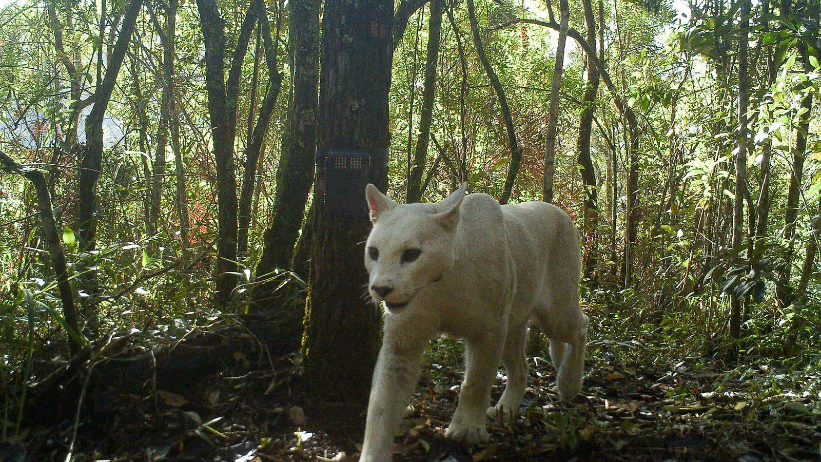 Am 5. Juli 2013 wurde dieser weiße Puma im Südosten des brasilianischen Nationalparks Serra dos Órgãos ...