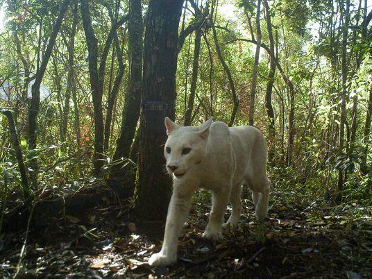 Seltener weißer Puma gibt Wissenschaft Rätsel auf