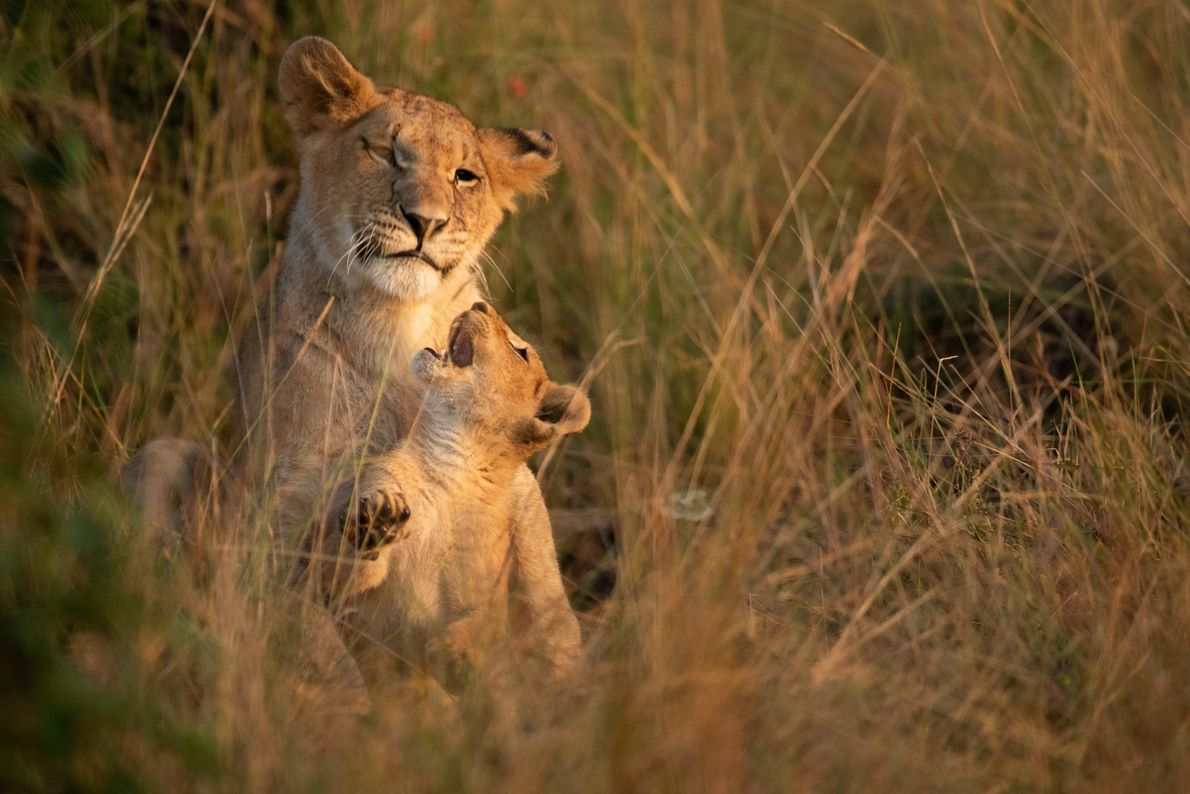 Junge Löwen tollen im Maasai Mara National Reserve in Kenia herum. Das Schutzgebiet beheimatet auch Geparden, ...