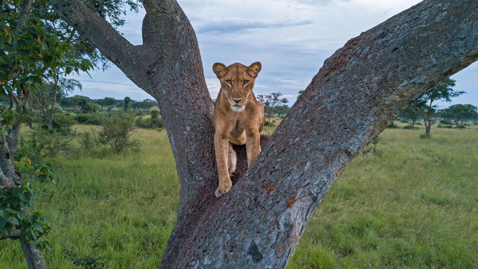Eine Löwin sitzt auf einer Baumgabel im Queen-Elizabeth-Nationalpark in Uganda. Da die Zahl der Löwen rapide ...