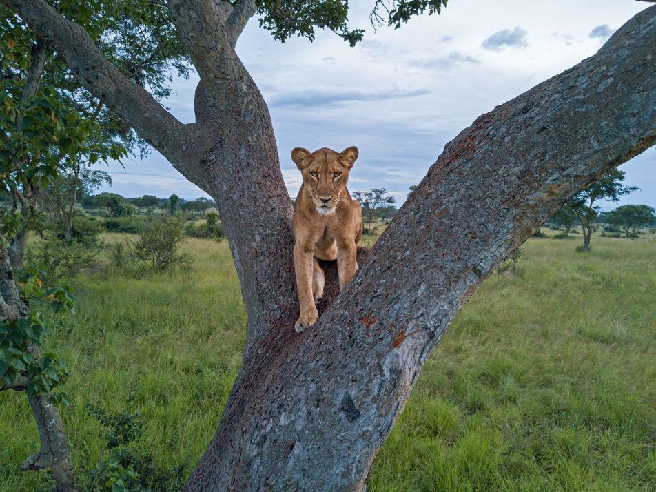 Warum niemand weiß, wie viele Löwen es in Afrika noch gibt