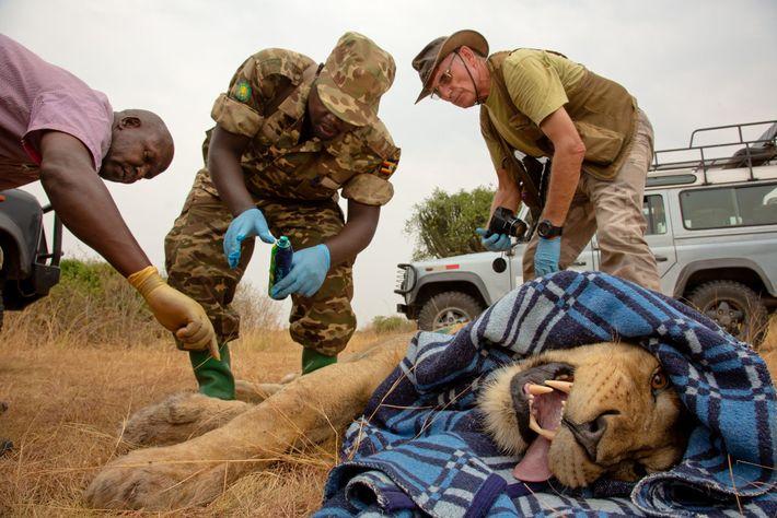 Forscher und Ranger legen einem männlichen Löwen im Queen-Elizabeth-Nationalpark ein neues Satellitenhalsband um. Die Halsbänder liefern ...