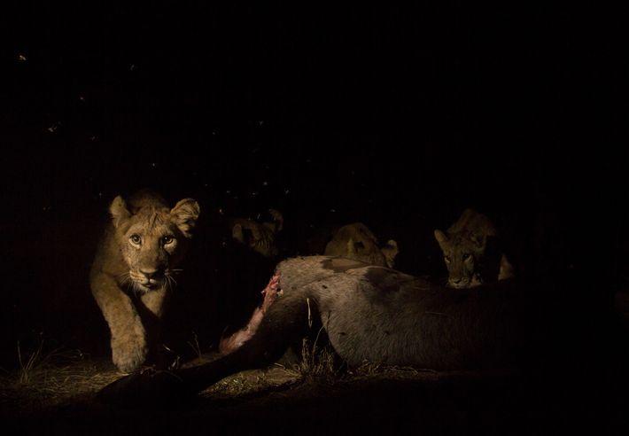 Ein junger Löwe, der einen Wasserbock frisst, löst eine ferngesteuerte Kamerafalle aus. Indem sie hochauflösende Fotos ...