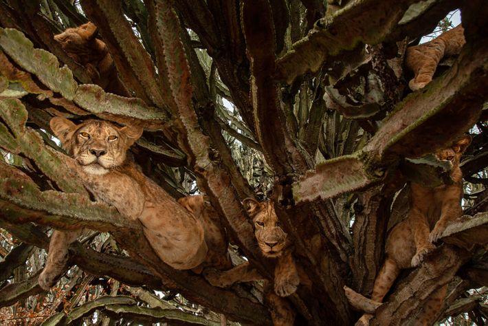 Sechs Monate alte Junglöwen ruhen sich in einem Baum aus. Auch wenn sich die Wissenschaftler über ...