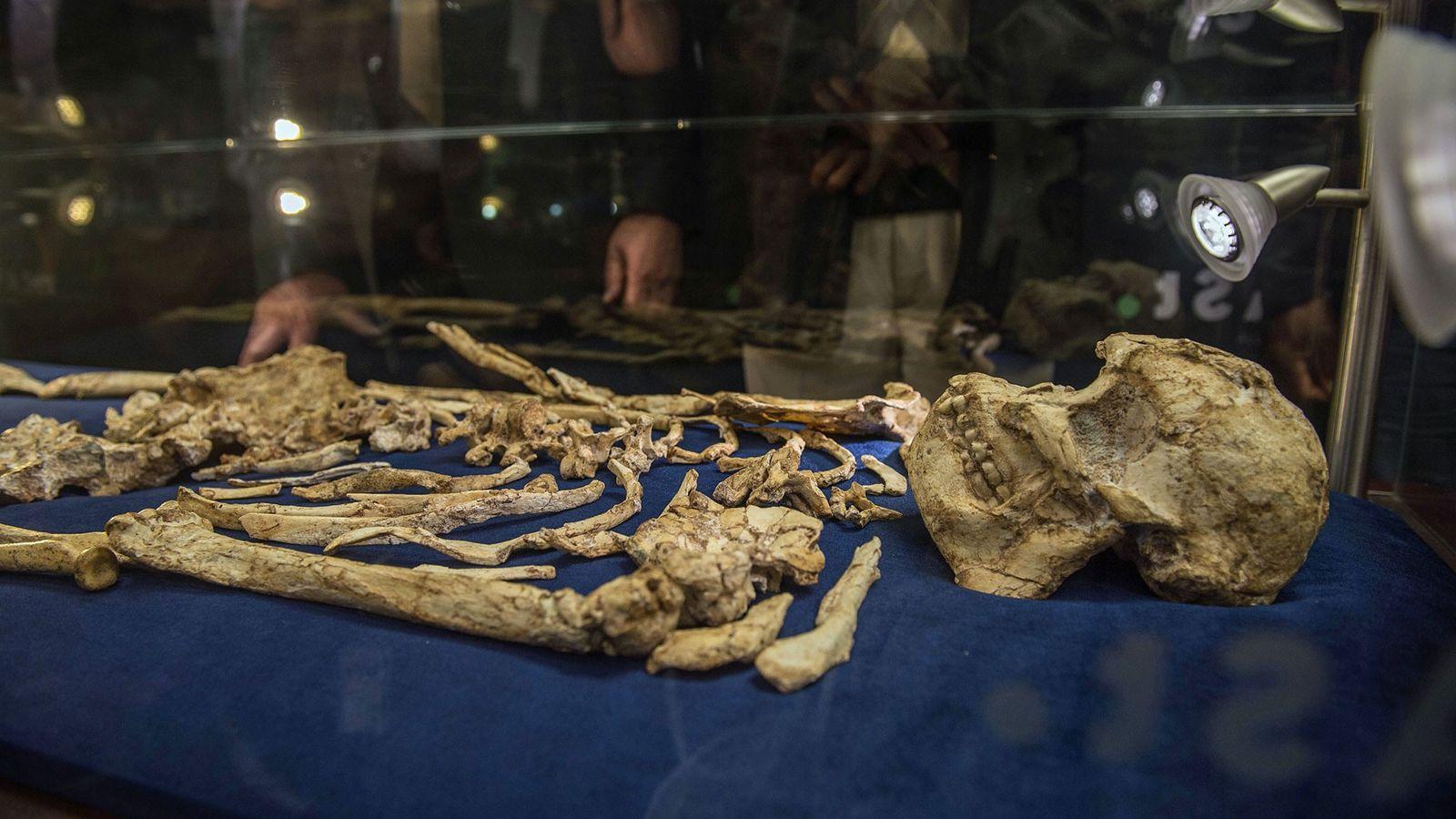"""Der Schädel eines Australopithecus prometheus namens """"Little Foot"""" wird in Johannesburg in Südafrika ausgestellt."""