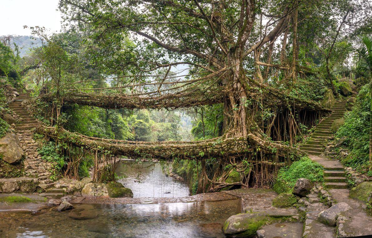 Umshiang, eine Doppelbrücke (und bald Dreifachbrücke) besteht aus umgelenkten Wurzeln. Ihre Lebenserwartung liegt bei mehreren hundert ...