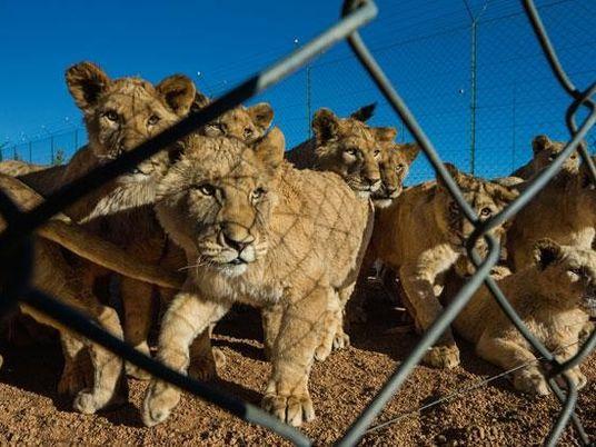 Galerie: Löwen: Wir oder sie?
