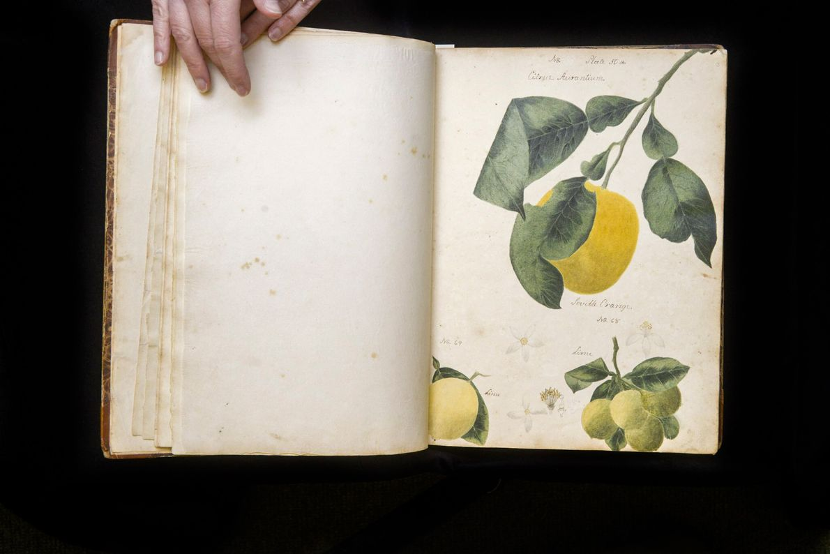Aus dieser markanten Frucht, der Bitterorange, wird traditionell Orangenmarmelade hergestellt.