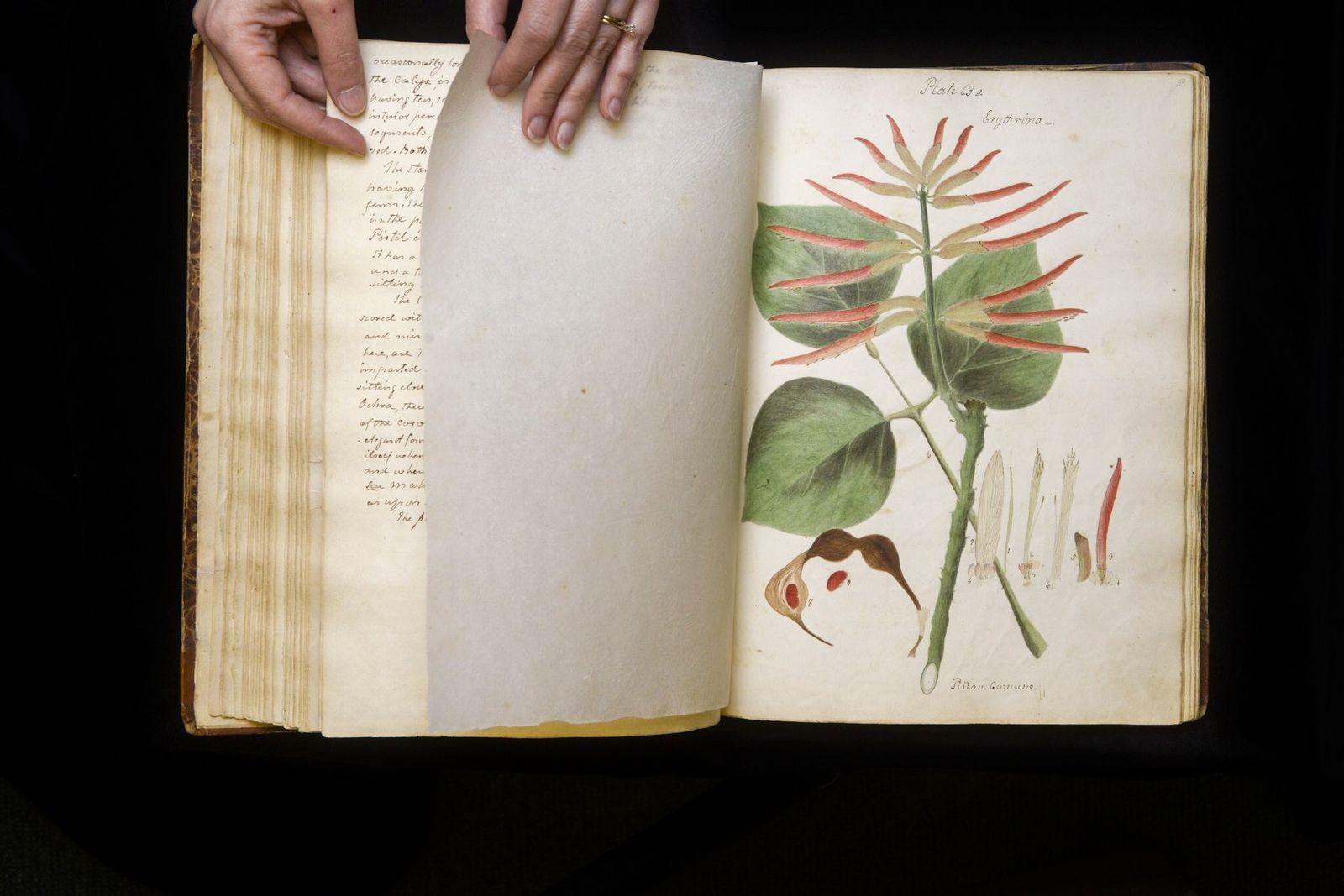 Diese Zeichnung in Wollstonecrafts Manuskript zeigt eine Pflanze aus der Gattung der Korallenbäume (Erythrina), deren Name ...