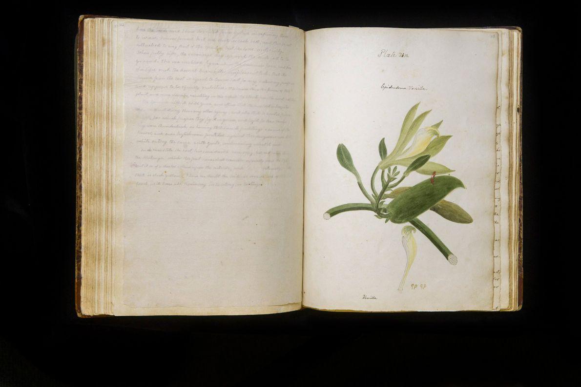 """Diese Zeichnung zeigt die Orchideenart """"Epidendrum vanilla""""."""